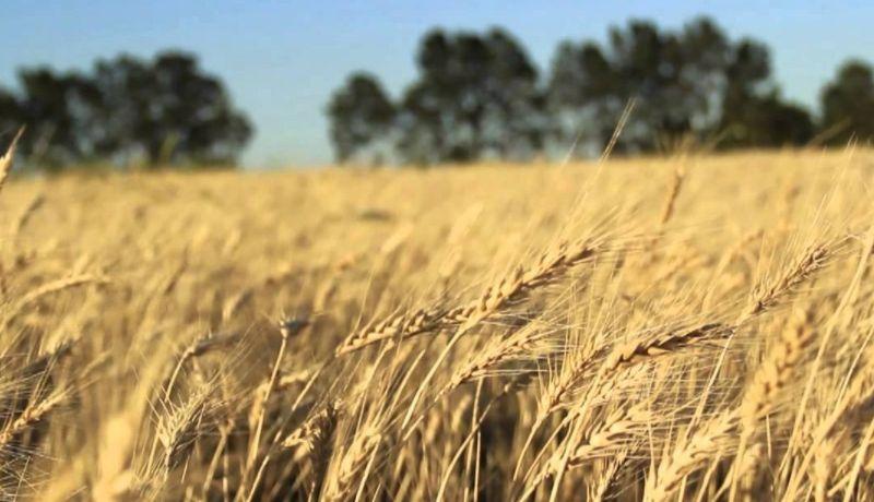 Resultat d'imatges de cosecha trigo